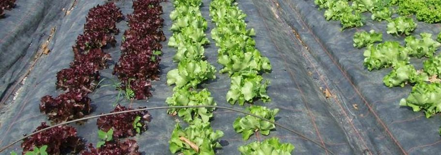 toile paillage salade