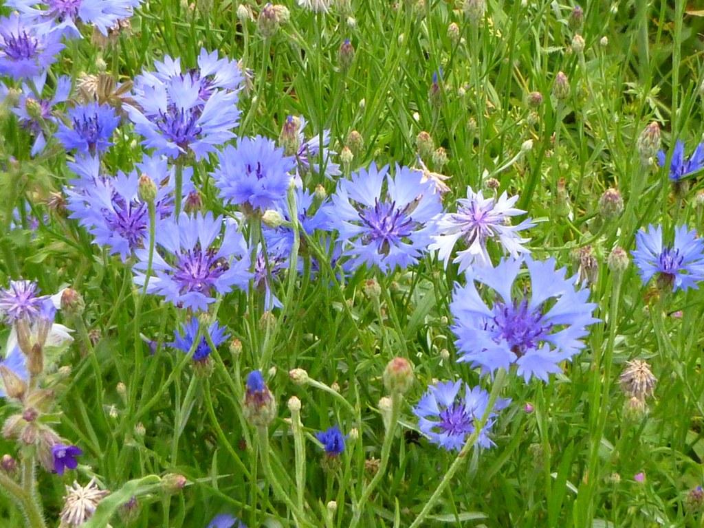 bleuet plante jardin