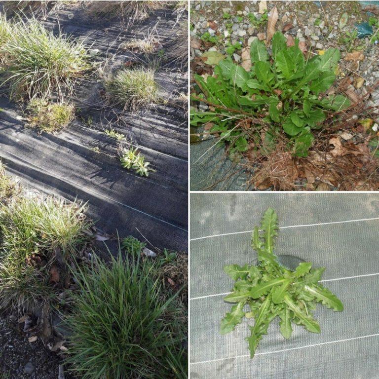 mauvaise herbe toile de paillage