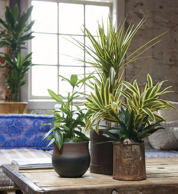 hiberner plante